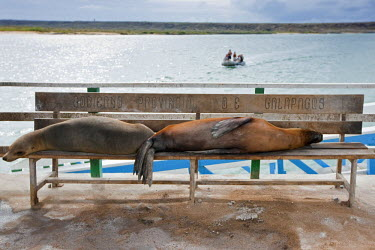 GAL0090 Galapagos Islands, Galapagos sea lions occupy the visitors� benches on the pier at Baltra Island.