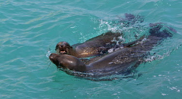 GAL0091 Galapagos Islands, Playful Galapagos sea lions off Santa Cruz island.
