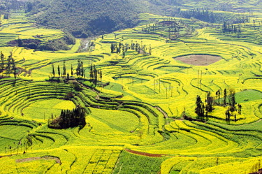 China, Yunnan province, Luoping, rapeseed flowers in bloom