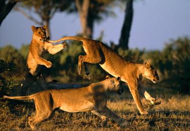 AF05_PSO0019 Botswana, Chobe National Park, Lionesses (Panthera leo) playing near Rhino Pan in Savuti Marsh at dawn