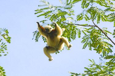 AF24_KSC0079 Coquerel's Sifaka jumping, (Propithecus coquereli), wild, Ampijoroa Forest, Madagascar.