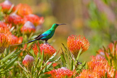 AF42_RBE0006 A Malachite Sunbird feeds on Pincushion Protea at Bushman's Kloof in Western Cape Province, South Africa.