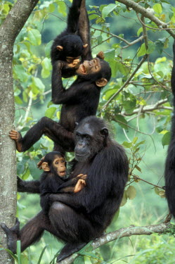 AF45_KRM0126 Tanzania, Gombe National Park, Young male Chimpanzees play above mother and infant
