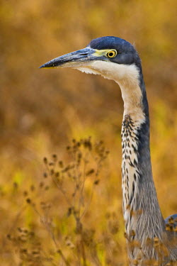 Tanzania, Black-headed Heron in Ngorongoro Crater.
