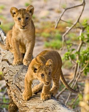 AF45_RBE0266 Tanzania, Young lion cubs at play in Tarangire NP.