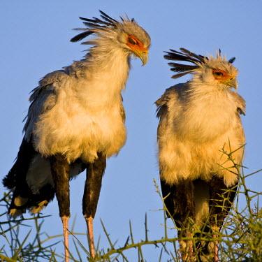AF45_RBE0302 Tanzania, Secretary Birds at Ndutu in the Ngorongoro Conservation Area.