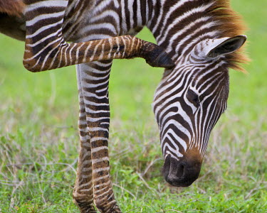AF45_RBE0425 Tanzania, Zebra colt at Ngorongoro Crater in the Ngorongoro Conservation Area.