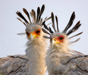 AF45_TGU0111 Secretary Birds,  East Tanzania, Serengeti
