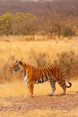 AS10_JRA0379 Royal Bengal Tiger in the dry grassland, Ranthambhor National Park, India.