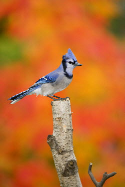 CN10_BJA0012 Canada, Quebec. Blue jay perched on stump in fall setting