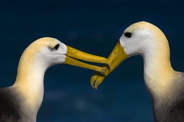 NA02_POX0028 Waved Albatross (Phoebastria irrorata) Courtship. Punta Cevallos, Espanola Island, Galapagos Islands, Ecuador.
