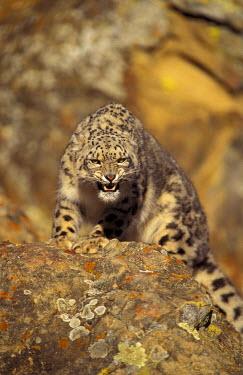 NA02_SWE0039 Asia. Snow leopard (Panthera uncia uncia)