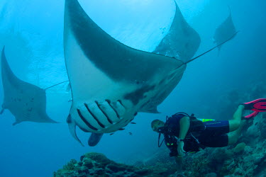 OC18_ANA0000 Micronesia, Caroline Islands, Yap Island, Manta rays with diver