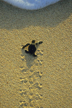 OC20_KSC0008 Green Turtle, (Chelonia mydas), hatchling heading to sea for first time, Ascension Island, South Atlantic ocean.