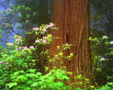US05_BJA0407 USA, California, Redwoods National Park. Blooming rhododendrons next to redwood