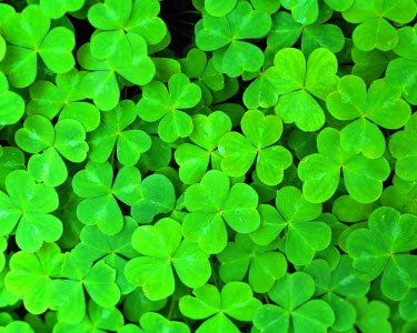 US05_RER0101 USA, California, Jedediah Smith Rewood SP. Redwood sorrel, found in Jedediah Smith Redwood SP, a World Heritage Site, California, is often called sour hearts.