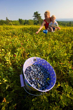 US30_JMO0779 A bucket filled with ripe lowbush blueberries on a hilltop in Alton, New Hampshire, USA