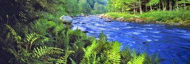US33_RER0010 USA, New York, Sacandaga River. Ferns adorn the banks of the Sacandaga River in the Adirondack Mountains, New York.