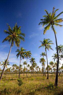 MOZ1489 Mozambique, Tofo. Coconut plantations around Tofo.