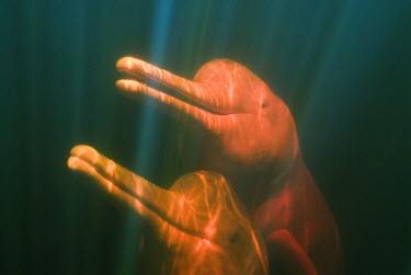 SA04_KSC0047 Boto, or Amazon River Dolphin (Inia geoffrensis) WILD, Rio Negro, BRAZIL