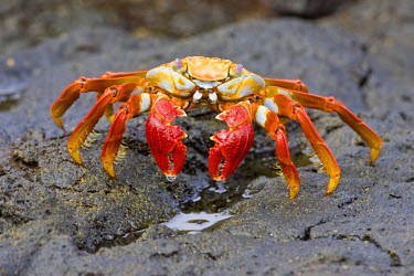 SA07_RBE0041 Ecuador. A Sally Lightfoot Crab, with its brilliantly colored carapace, is one of the most recognizable inhabitants of the Galapagos Islands.