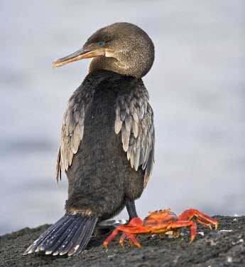 SA07_RBE0069 Ecuador. Flightless Cormorant and Sally Lightfoot Crab on Fernanadina Island in the Galapagos.