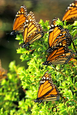 SA13_CCR0098 Mexico, Michoacan, Sierra Chincua Sanctuary. Monarch butterflies rest on forest bushes at the sanctuary.