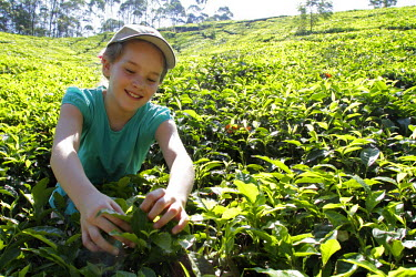 IND6014 India, South India, Kerala. A young girl tries tea picking during a family holiday in Munnar region. (MR)