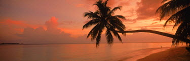 NP00865475 Palm tree stretched over sandy shoreline on Fihalhohi Island in Maldives at sunrise