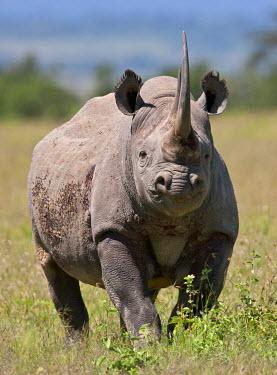 KEN7222 An alert black rhino. Mweiga, Solio, Kenya