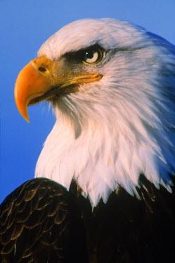 AR8261300001 Close-up portrait (profile) of a mature bald eagle (Haliaeetus leucocephalus).