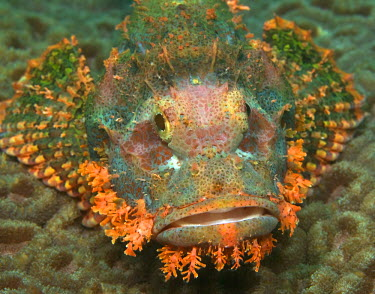 AR8427500028 Ornate stonefish on moon coral, Sulawesi, Indonesia