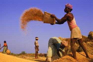 AR1880903411 Rice Harvest, India