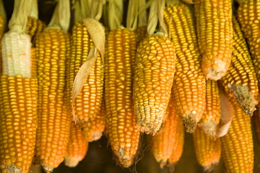 AR9676600006 Corn for animal feed grown on a small rural farm that is part of a cooperative of local farmers who grow medicinal herbs and other organic products in and around the small community of Turvo, central...
