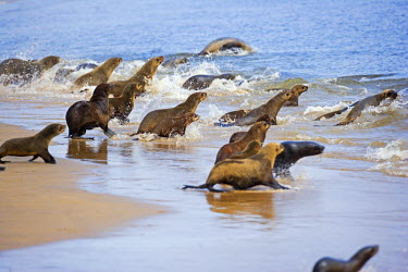 NAM6010 Namibia, Walvis Bay. Cape Fur Seals take to the waters of Walvis Bay Lagoon near Swakopmund.