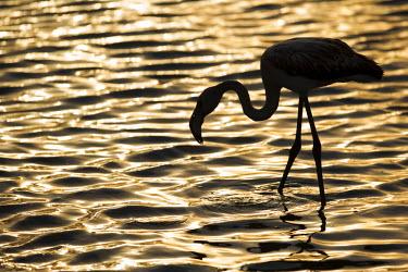 NAM6014 Namibia, Walvis Bay. Flamingo filter feeding in Walvis Bay Lagoon at sunset.