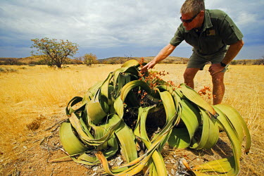 NAM6016 Namibia, Damaraland.  Welwitschia mirabilis being examined by local guide Faan Ooesthuizen (MR)