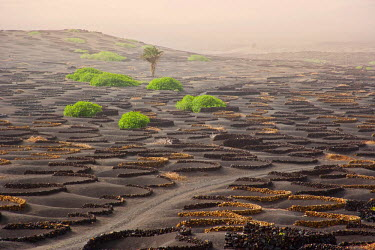 SPA3454 Lanzarote Island. Belongs to the Canary Islands and its formation is due to recent volcanic activities. Spain. In  La Geria the wines are produced in full volcanic ash.