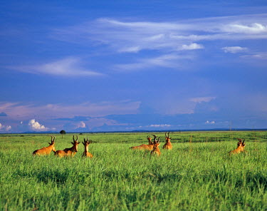 DRC1021 A herd of Lelwel's Kongoni, or Hartebeest, in the lush grasslands of Garamba National Park in Northern Congo DRC.