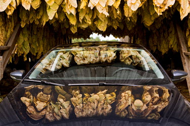 AR3189100007 Reflections of tobacco leaves on a car's glass and chrome surface, Maryland, USA