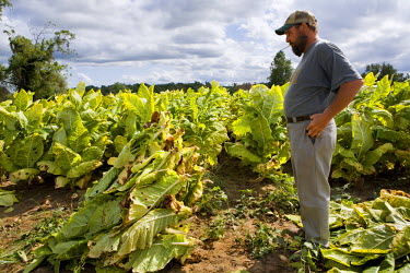 AR3189100010 A portrait of a tobacco farmer looking at his crop, Maryland, USA