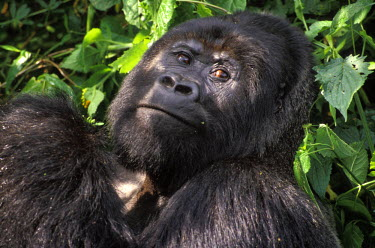 AR3202000013 Silverback mountain gorilla in Virunga National Park, Democratic Republic of Congo
