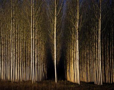 POR0489AW A forest of poplars at Geria, Coimbra, Portugal