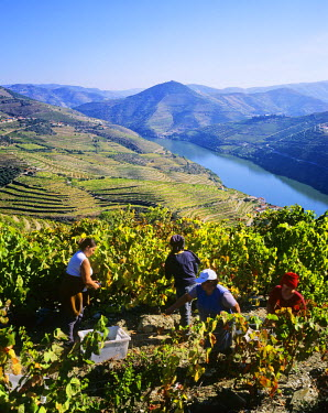 POR0758AW Harvest on the vineyards of Quinta do Infantado, on the Douro region, the origin of the world famous Port wine. A UNESCO World Heritage Site, Portugal