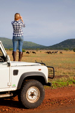 TZ3175 Tanzania, Serengeti. A tourist stands on the bonnet of her Land Rover to look at the wildebeest. MR.