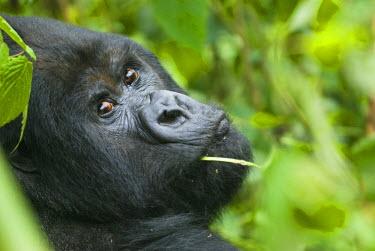 AR3277500019 Mountain gorilla, adult male, Rwanda
