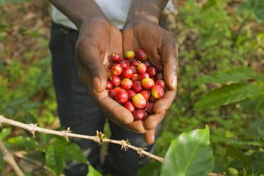 AR3277500013 Coffee harvesting, Kabuye, Rwanda