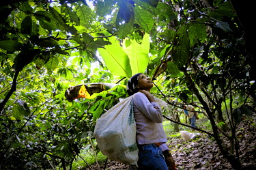 AR3269200007 A young woman picks cacao pods (Theobroma cacao) among lush, green trees and vegetation in Choroni, Venezuela