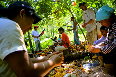 AR3269200002 Several workers slice open cacao pods (Theobroma cacao) by hand  in Choroni, Venezuela