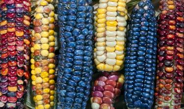 AR3280500006 Corn Cob Colors